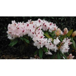 RHODODENDRON x Manon