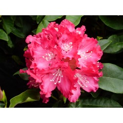 RHODODENDRON x Sir de gustave croux
