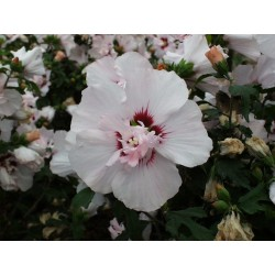 HIBISCUS syriacus Lady stanley