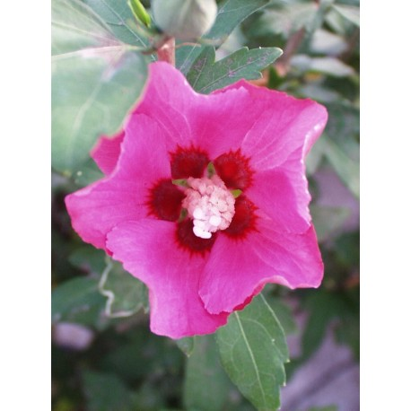 HIBISCUS syriacus Pink giant®