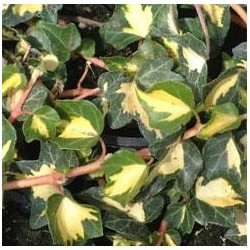 HEDERA helix Gold heart