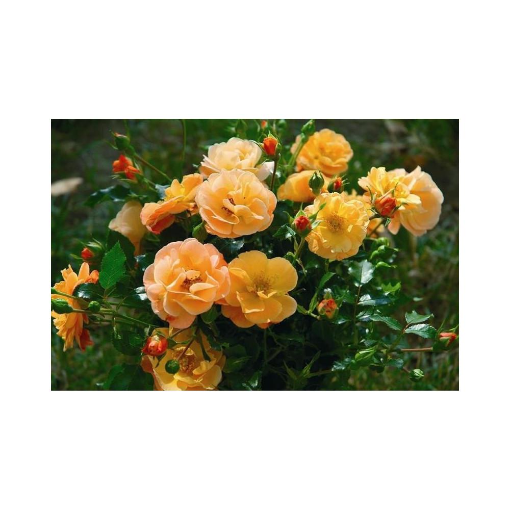 ROSA paysager Calizia ® noack