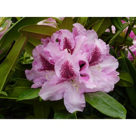 RHODODENDRON x Le notre