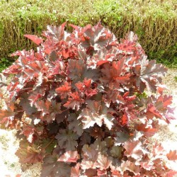 HEUCHERA Chocolate ruffle