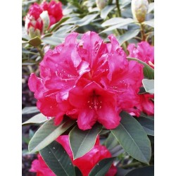 RHODODENDRON x Ubald croux