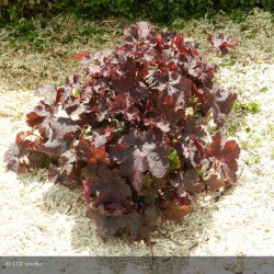 HEUCHERA micrantha Can can