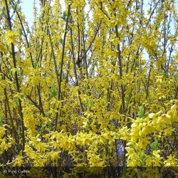 FORSYTHIA x intermedia Lynwood