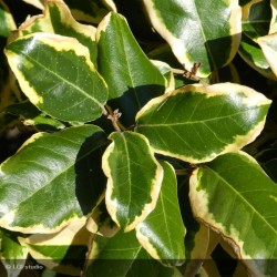ELEAGNUS x ebbingei Gilt edge