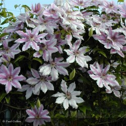CLEMATIS Nelly moser (bicolore rose carmin)