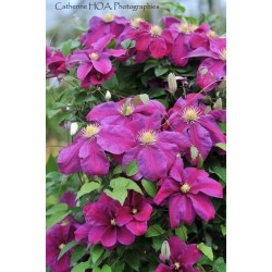 CLEMATIS Sunset (bleue)