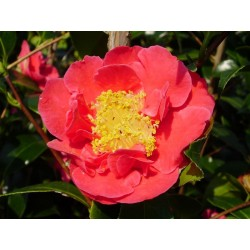 CAMELLIA japonica Blood of china