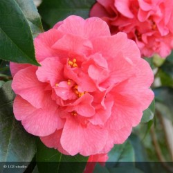 CAMELLIA japonica double Maroon and gold  rouge