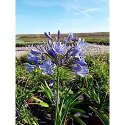 AGAPANTHUS x Ever sapphire ®