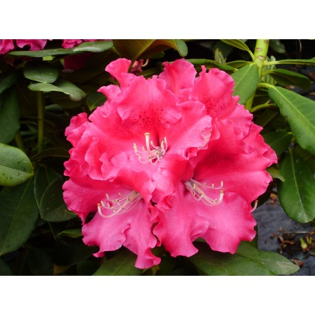 RHODODENDRON x Genouilly