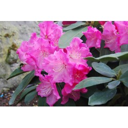 RHODODENDRON x Val d aulnay